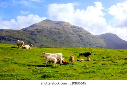 Peaceful scene of the cattle resting and greasing on the green hill of the Connemara, Ireland. Mountains are seen on the background.
