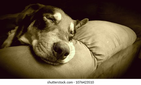 Peaceful, Sleeping Dog on a Couch in Sepia creating a Vintage, Stress Free, Relaxing day Feel.