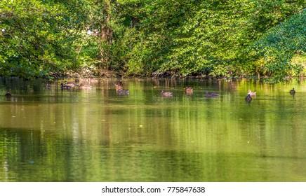 peaceful sunny park scenery including some mallards swimming in a idyllic small lake at summer time