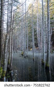Peaceful swamp with white trees and moss growing out from it in the forest of the Sunshine Coast in British Columbia, Canada.