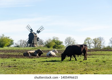 Peaceful view with grazing cattle by an old windmill in the swedish nature reserve Horns Kungsgard on the island Oland