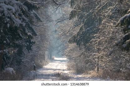 Peaceful wintertime road crosing primeval Bialowieza Forest in sun, Bialowieza Forest, Poland, Europe