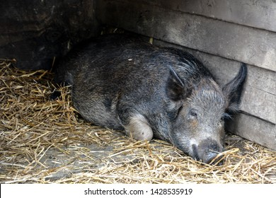 Peacefully sleeping black pig on hay at a barn corner background. Adorable Livestock background.
