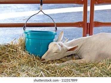 Peacefully sleeping Sannen alpine dairy goat