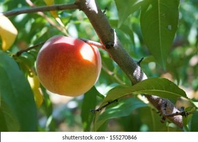 Imágenes, fotos de stock y vectores sobre Georgia Peach Tree