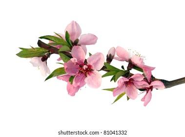 Peach blossom branch