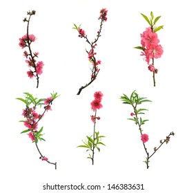 Peach blossom flower collection isolated on white background