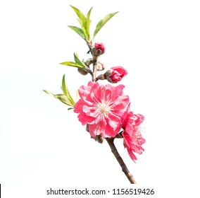 Peach blossom flower isolated