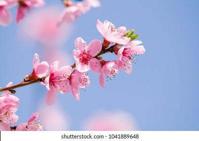 peach blossom flowers