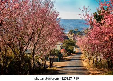 Peach blossom full of flowers on both sides of the road at Da Lat city, Lam Dong, Viet Nam