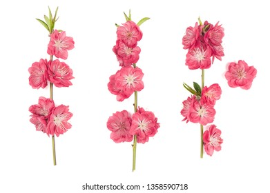 Peach blossom isolated on white background. Pink spring flowers
