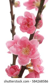 Peach blossom isolated on white background