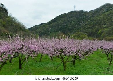 Peach blossom orchard