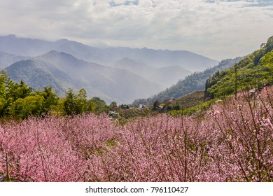 Peach Blossom in Spring at a Small Aboriginal Tribe at Taian, Miaoli, Taiwan