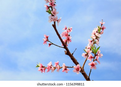 peach blossoms in the blue sky