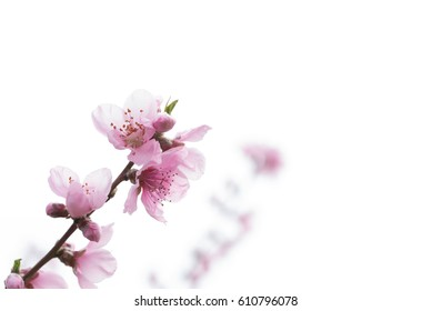 peach blossoms on natural background