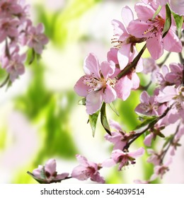 Peach blossoms. Spring. Blooming natural background. Bright warm day in the garden. Branches of flowering tree in the sunlight. Nature rejoices.