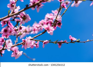 Peach blossoms in spring. Branches with beautiful pink flowers.