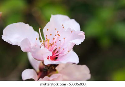 Peach blossoms in spring close-up macro