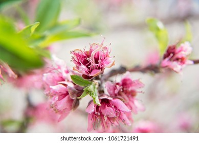 peach blossoms in spring time