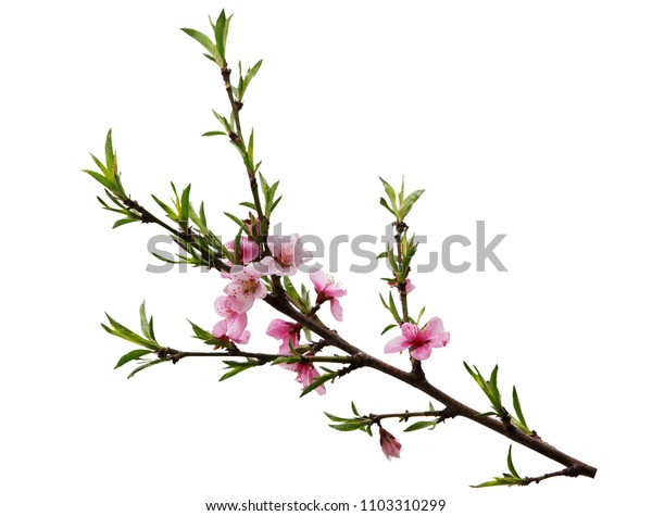 Peach cherry blossom pink flower isolated on white background