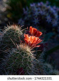 Peach colored Claret Cup cactus flowers kissed by early morning sunlight with little purple allium flowers (ornamental onion) in the background.
