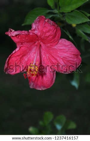 Peach Colored Hibiscus Flower Take New Stock Photo Edit Now