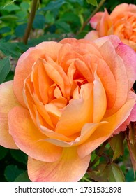 A peach colored rose in the rose garden