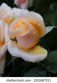 peach colored young opening rose bud closeup