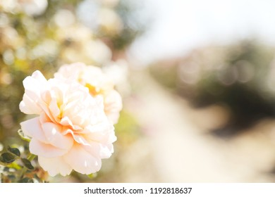 A peach colors flower in an orchard garden.