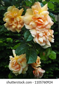 Peach coloured climbing rose flowers in full bloom