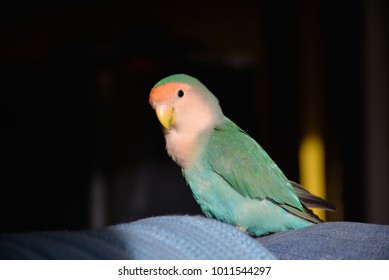 Peach faced lovebird close up