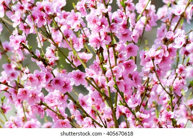 Peach flower blossom on pink background