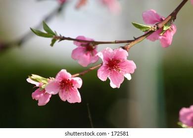 peach flower branch