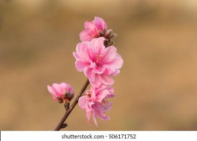 Peach flower on tree. Peach flower is symbol of Vietnamese Lunar New Year - Tet holidays in north of Vietnam