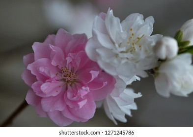 the Peach flowers