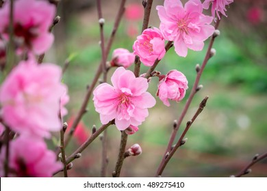 Peach flowers in garden in Hanoi, Vietnam. Peach flower, the symbol of Vietnamese lunar new year