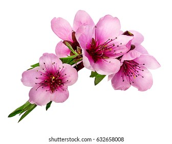 peach flowers isolated on white