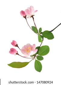 peach flowers on a white background