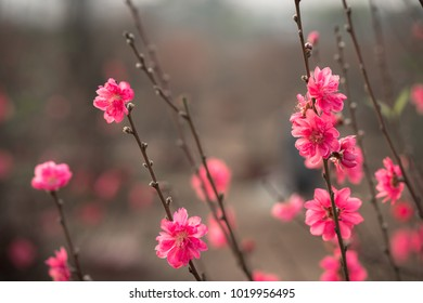 Peach flowers, the symbol of Vietnamese lunar new year