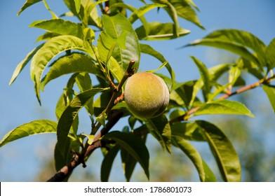 peach fruit on tree. summer seasonal harvest. full of vitamin. only organic and natural. Fresh peach tree. fruit garden. Sweet fruits grow on peach tree branch. Natural fruit. Peaches on branches.