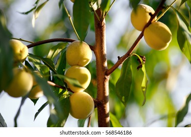 Peach fruit on the tree. Yellow peaches surrounded with green leaves. Natural organic fruit food concept.