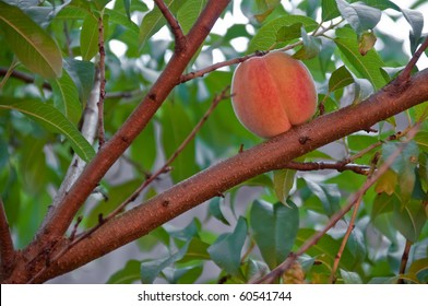 Peach fruit ripening on the tree in the autumn orchard in warm sunset light