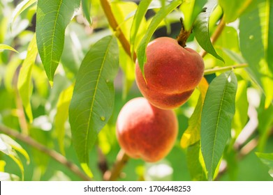 Peach fruits grow on a peach tree
