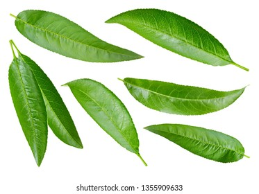 Peach leaves isolated on white background. Peach leaves Collection Clipping Path. Macro shooting