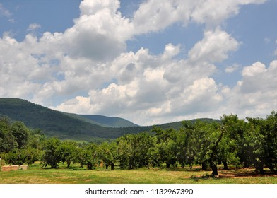 A peach orchard in the Blue Ridge mountain region of Virginia during picking season.