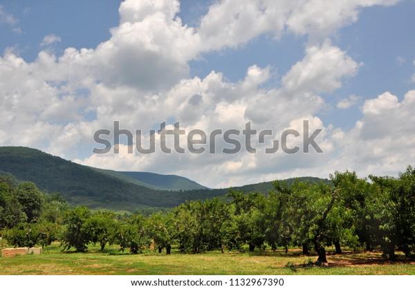 A peach orchard in the Blue Ridge mountain region of Virginia during picking season.