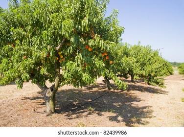 Peach orchard. Peaches ripe