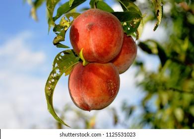 Peach, organic fruits, pesticides free