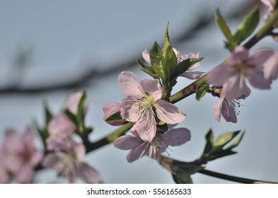 peach pink flowers on the branches against the blue sky